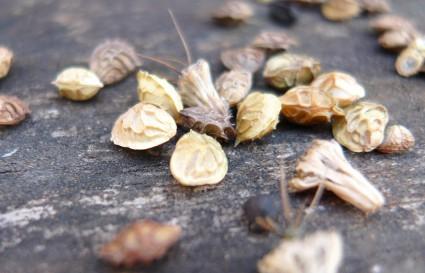 Samen Schmetterlingsgruß