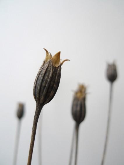 Kornblumen Blütenstände