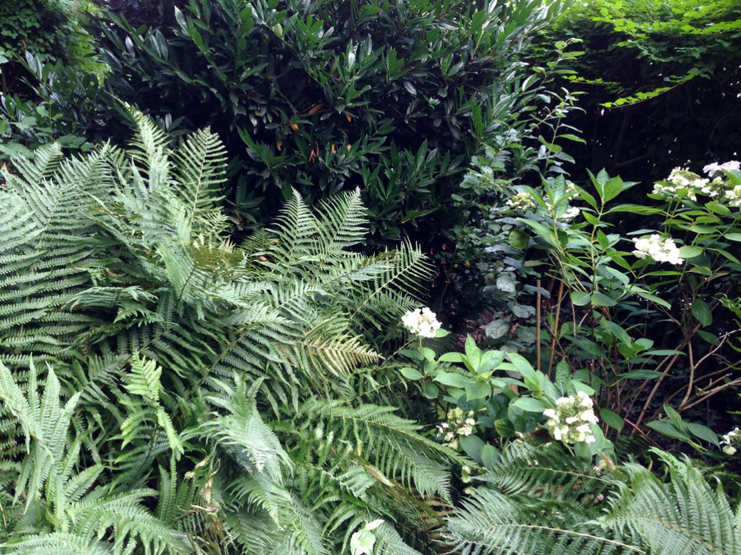 Hortensien & Farn im Garten