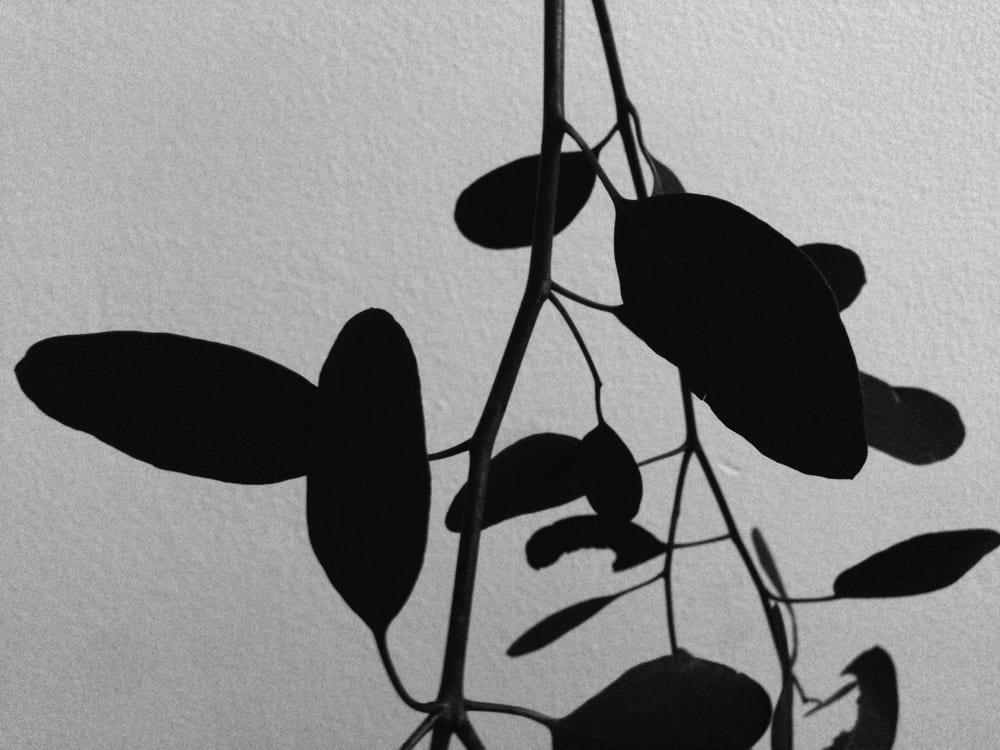 Eukalyptus Schatten schwarz weiß