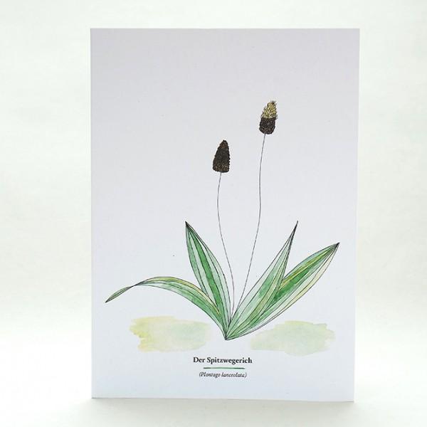 Wegesrandkraeuterkarte Spitzwegerich für die Kräuterwanderung   greeting card with wild herbs ribworth  studiokaramelo