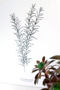 Botanischer Druck Rosmarin, Recyclingpapier, STUDIO KARAMELO   botanical print