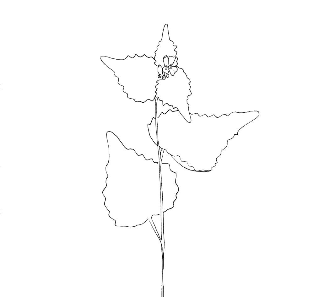 Illustration Knoblauchsrauke | GRüße aus der Küche | STUDIO KARAMELO