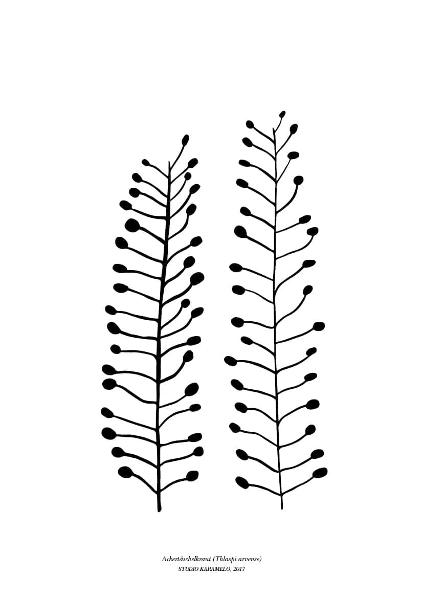 Botanischer Druck Hirtentäschel auf Recyclingpapier   STUDIO KARAMELO