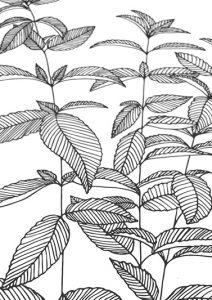 Botanischer Druck Minze auf Recyclingpapier   STUDIO KARAMELO