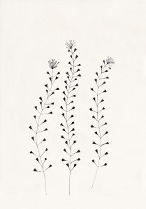 florale Illustration, Hirtentäschel, Ackerhellerkraut, botanische Illustration | STUDIO KARAMELO
