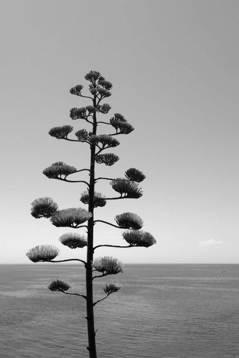 Stempel Pflanze »Agavenbaum«